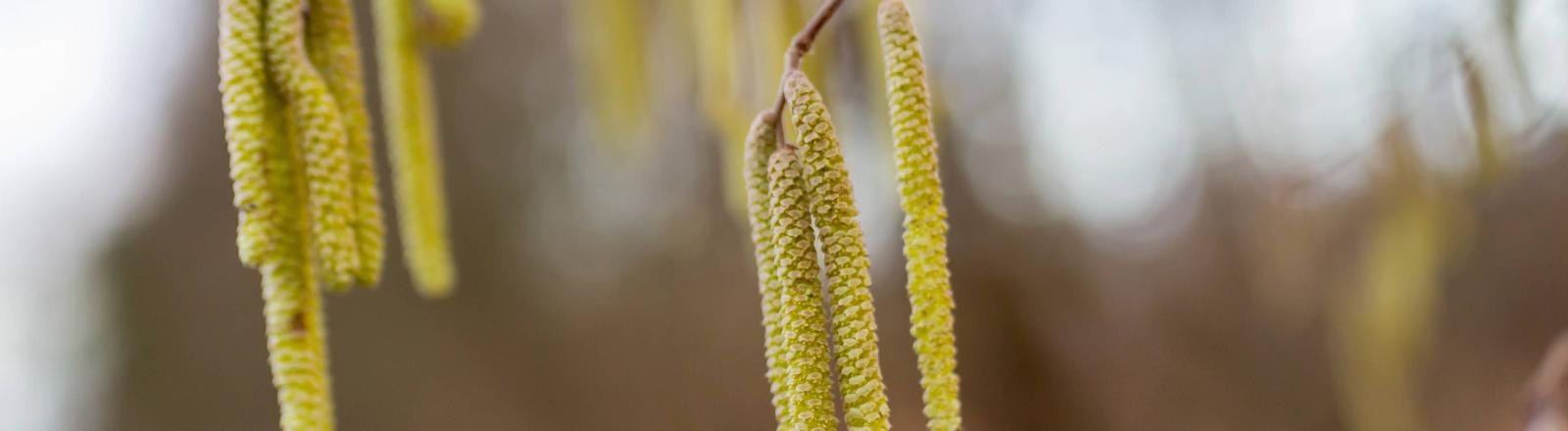 Birkenpollen an einem Baum