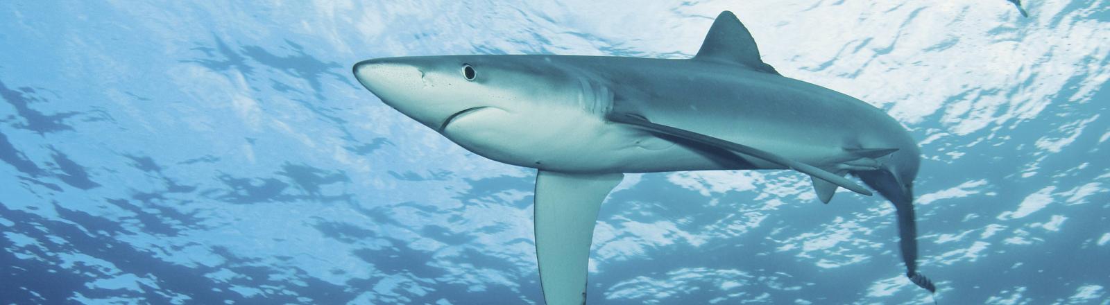 Blauhai im Meer