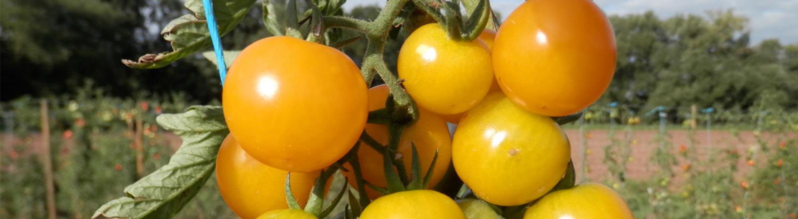 """Früchte der frei lizenzierten Tomatensorte """"Sunviva"""""""