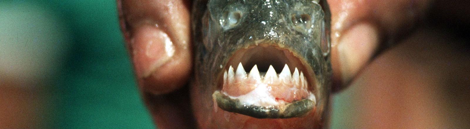 Das geöffnete Maul eines toten Piranhas mit Zähnen. Bild: dpa