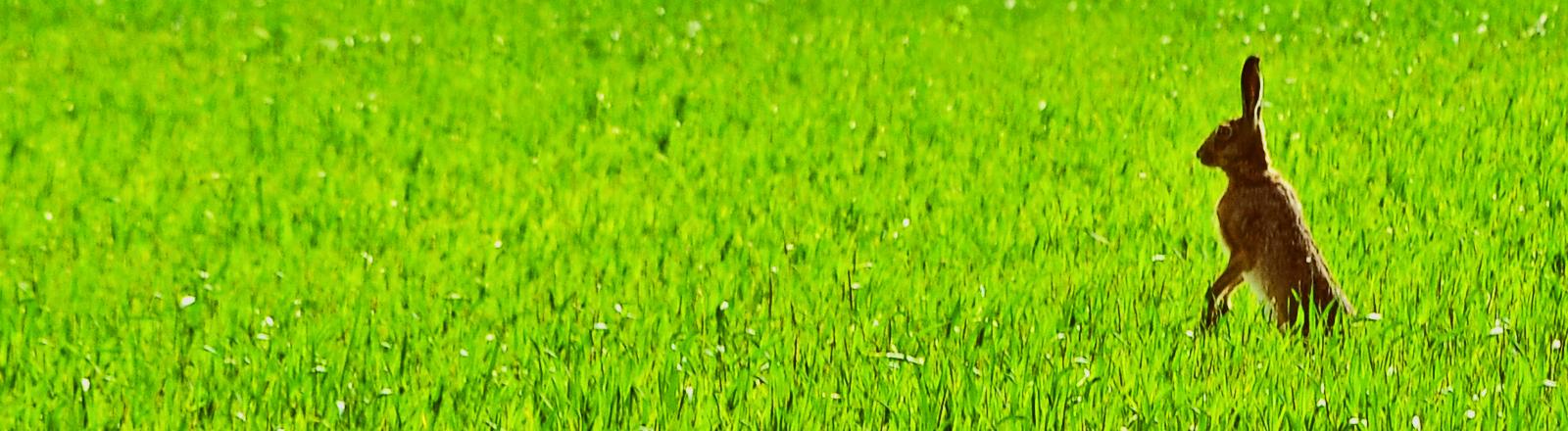 Ein Hase stellt sich auf einer grünen Wiese auf die Hinterbeine um sich einen Überblick zu verschaffen.