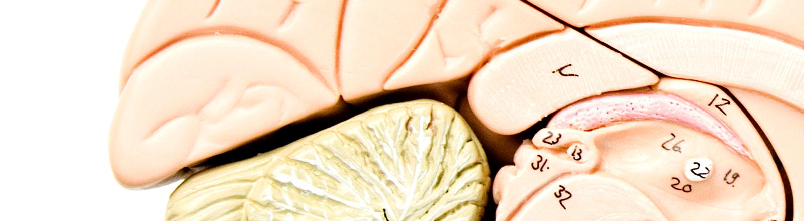 Ansicht eines Gehirnmodells
