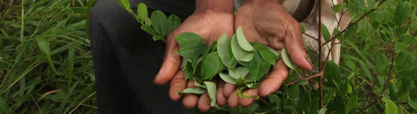 Zwei Hände, in denen Koka-Blätter liegen.