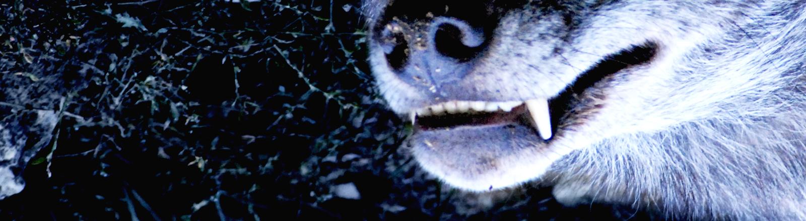 Zähne eines Wolfes