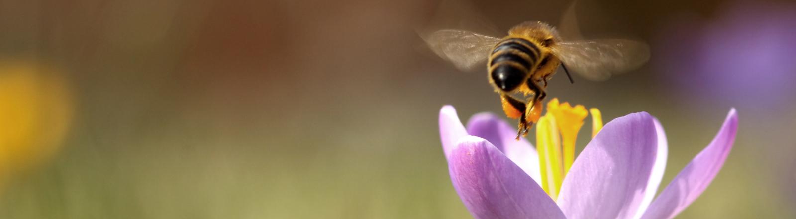 Eine Biene und ein Krokus.
