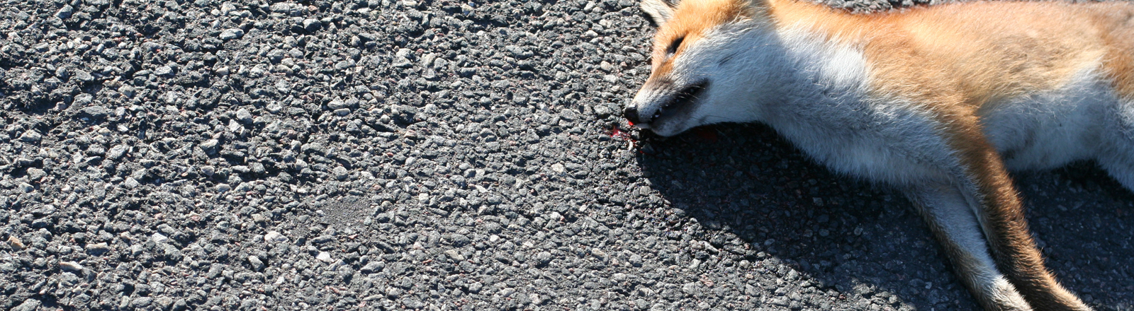 Ein toter Fuchs auf einer Straße.