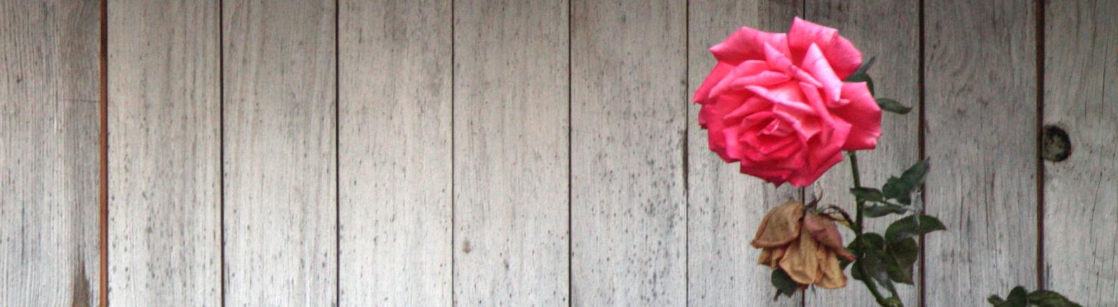 Eine Rose vor einer Bretterwand.