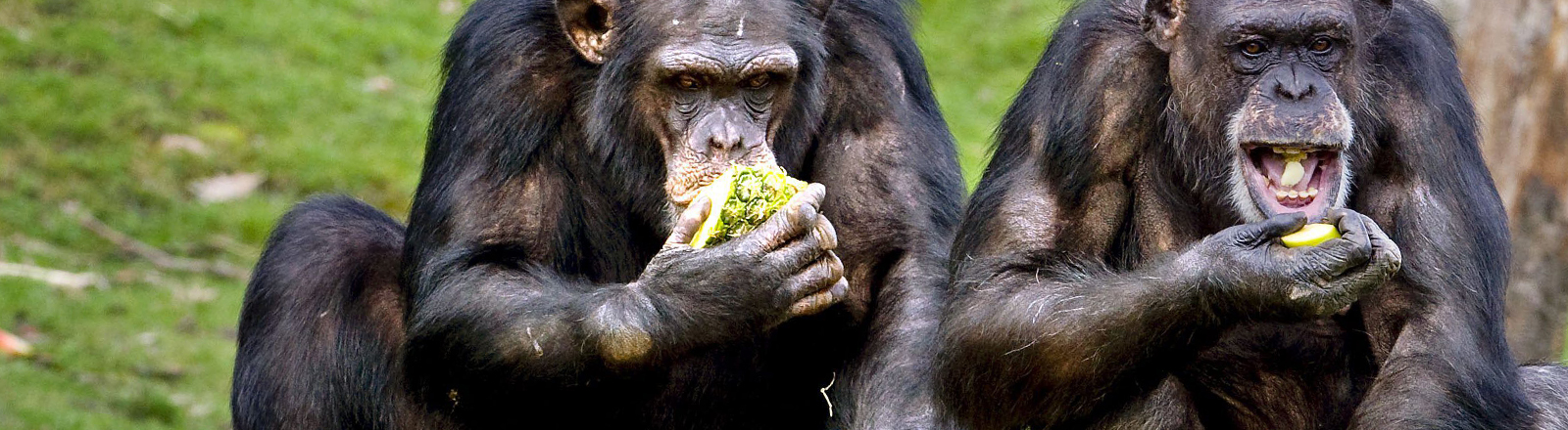Schimpansen fressen in einem Safaripark in Hilvarenbeek, Niederlande, Obst.