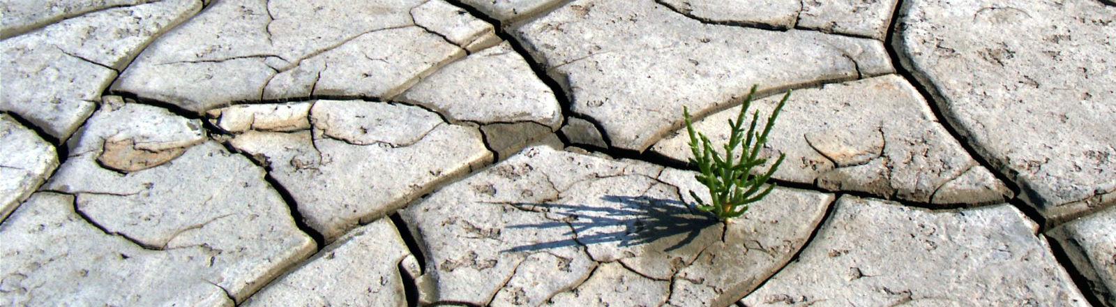 Ein Mini-Pflänzchen auf von Dürre aufgebrochenem Boden