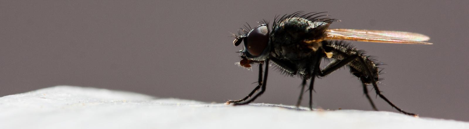 Ein Insekt, Fliege.