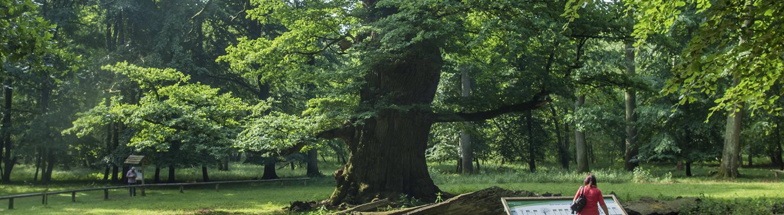Rund 1000 Jahre alte Stieleiche (Quercus robur), Deutschland, Mecklenburg-Vorpommern, Ivenacker Eichen