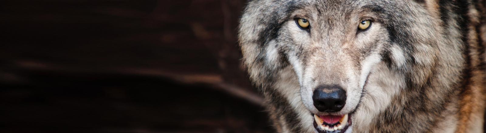 Ein Wolf in Nahaufnahme.