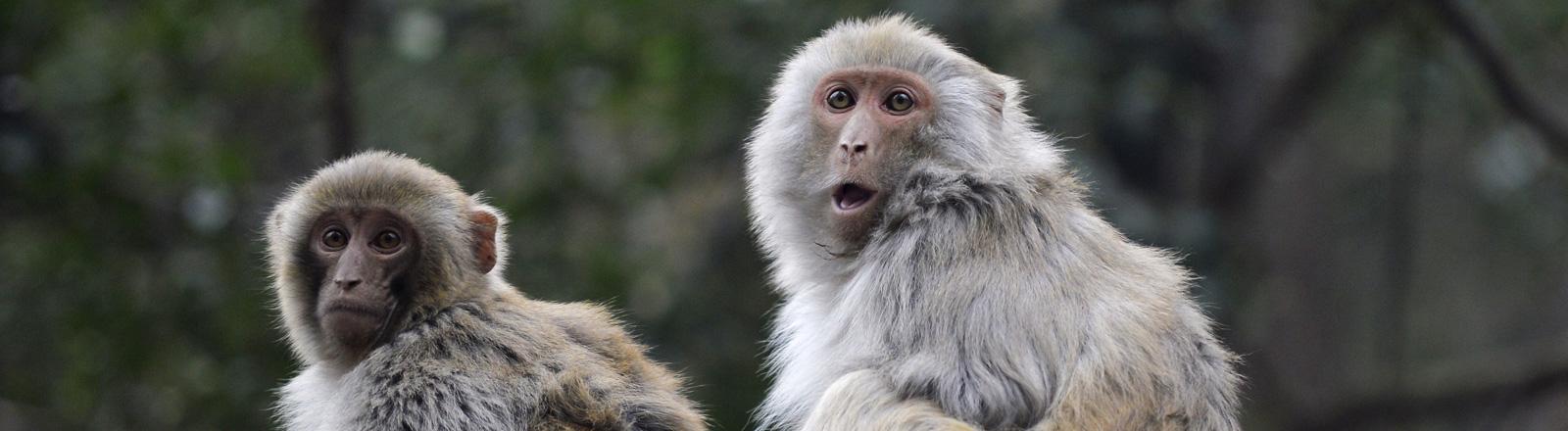 Wilde Makaken-Affen in China