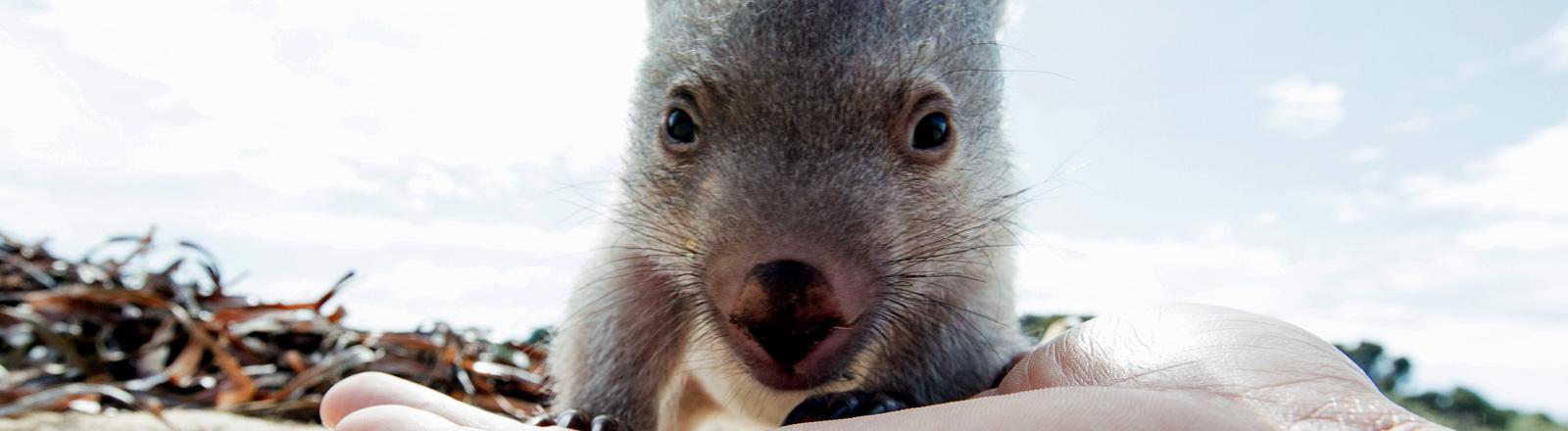 Wombat Derek am Strand