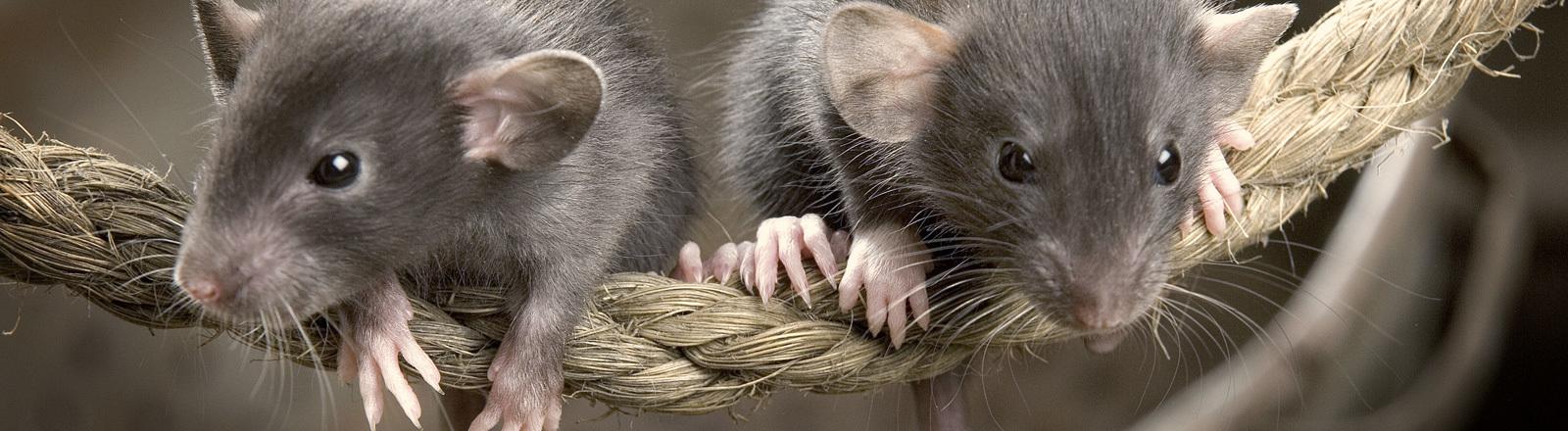 Zwei Mäuse auf einem Seil