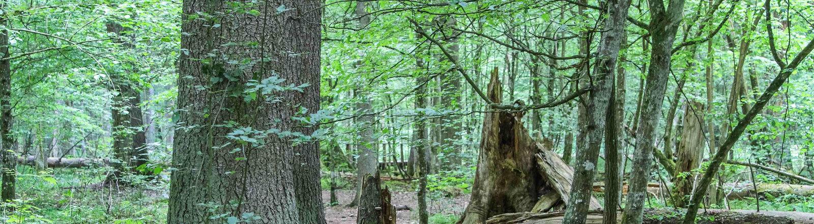 Bäume im Białowieża-Urwald in Polen