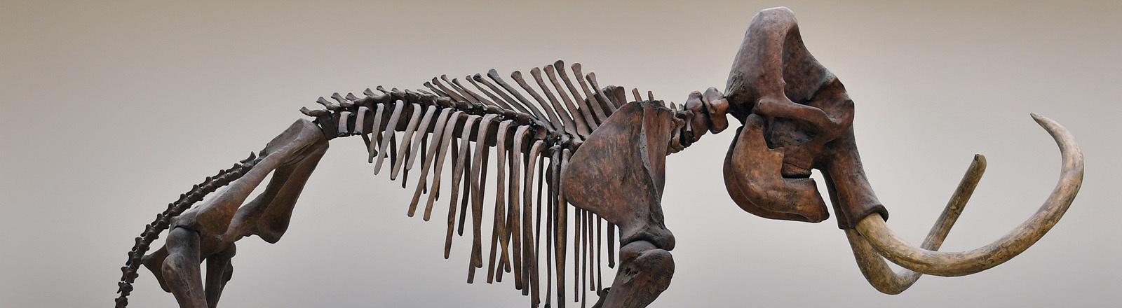 Mammut-Skelett