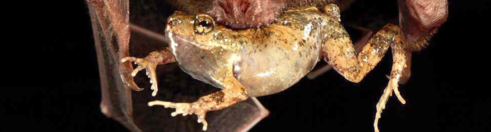 Fledermaus frisst Tungara-Frosch