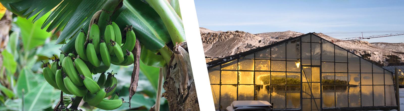 Collage: grüne Bananen und Gewächshaus im islandischen Schnee