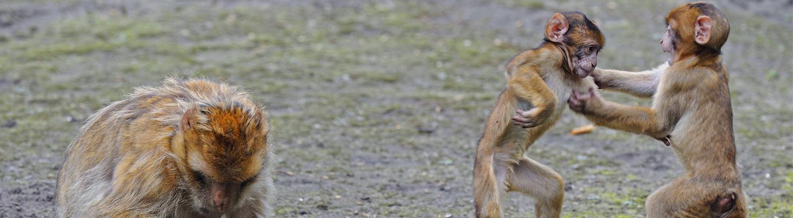 Makakenaffen. Die Jungtiere kämpfen miteinander.
