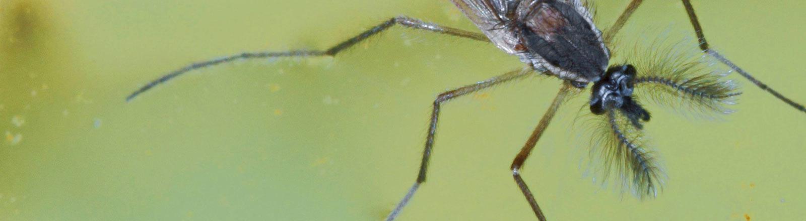 Büschelmücke