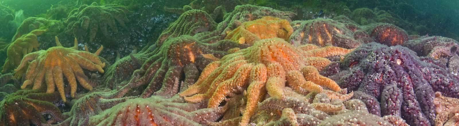 Sonnenblumenseesterne im Pazifik