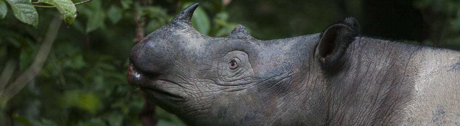 Sumatra-Nashorn mi künstlicher Befruchtung retten?