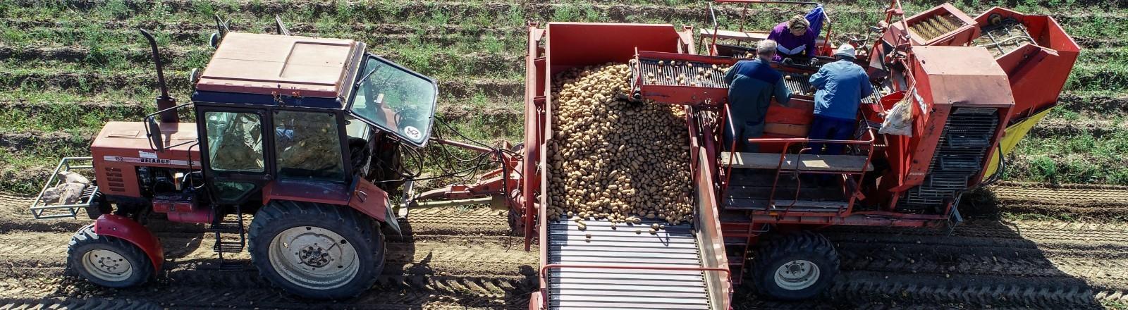 Ein Traktor und Bauern bei der Kartoffelernte