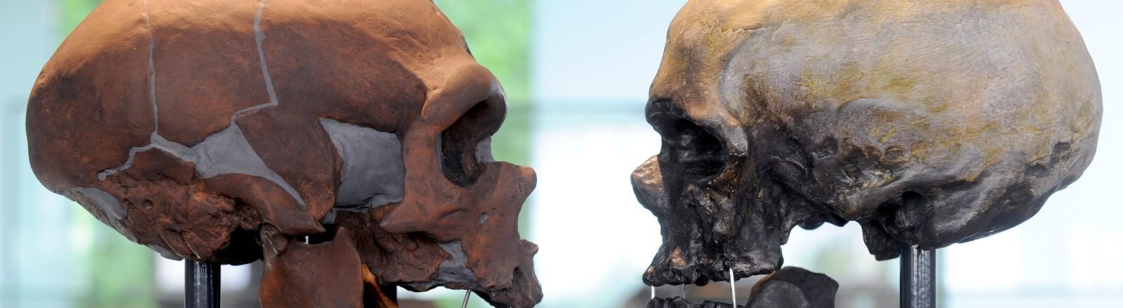 Zwei Schädel von einem Neandertaler und einem Neuzeitlichen Menschen