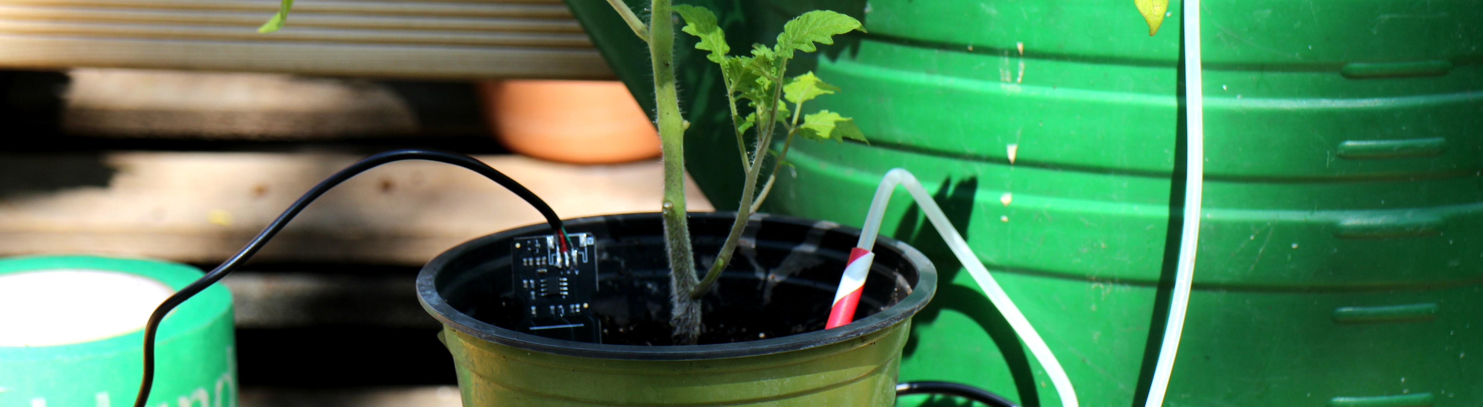 Eine Tomatenpflanze mit Feuchtigkeitssensor und automatischer Gießeinrichtung