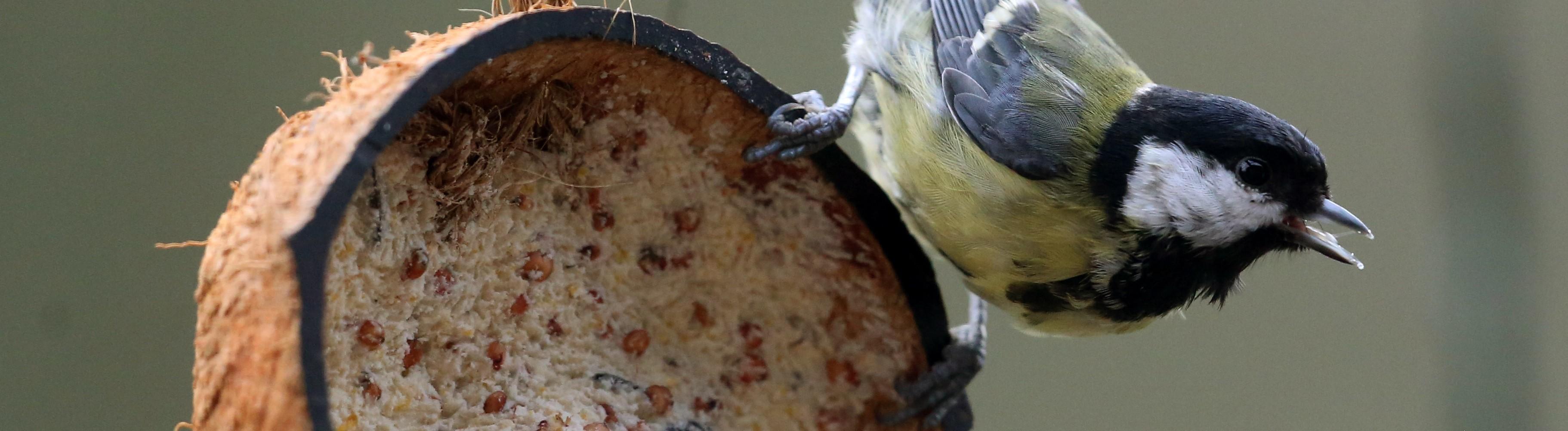 Eine Kohlmeise hält sich am Vogelfutter fest.