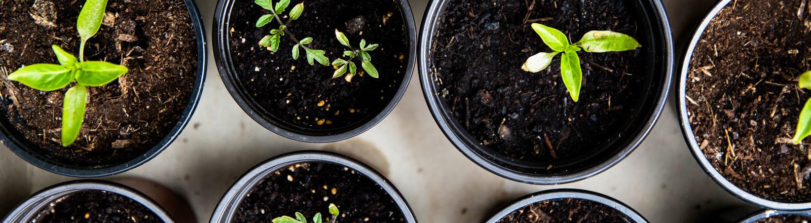 Tomatenpflanzen werden in Topfen vorgezogen