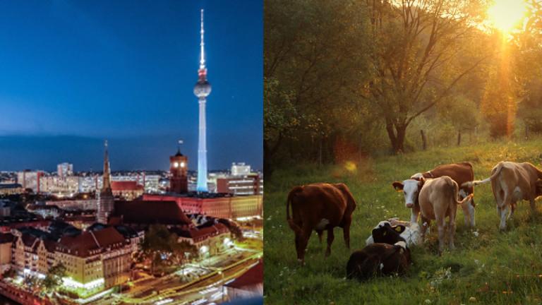 Die Berliner Skyline links im Bild, rechts eine Kuhherde.