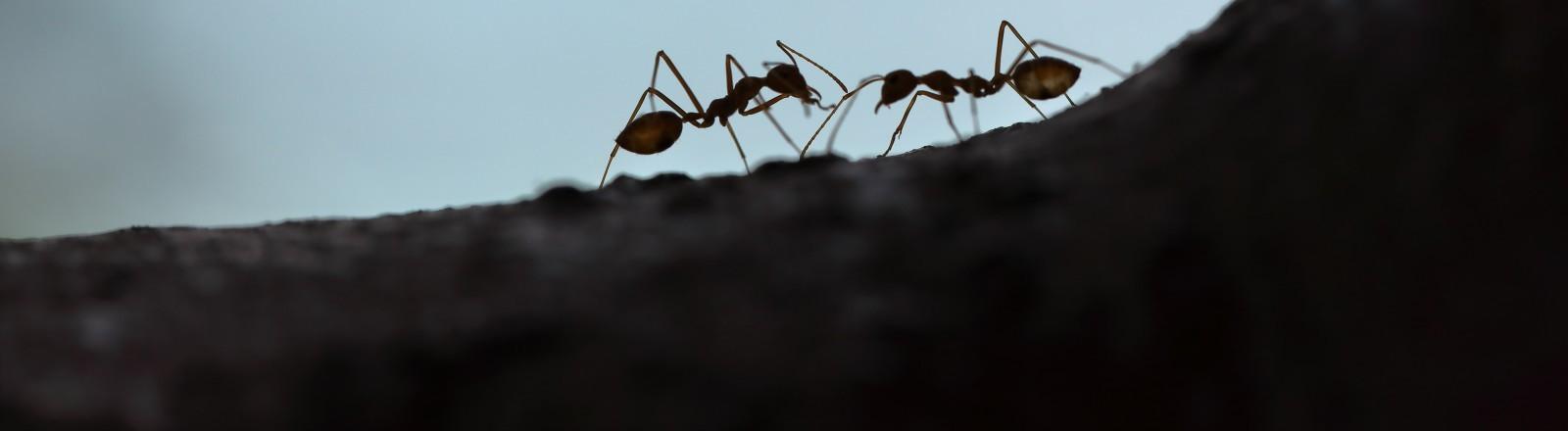 Zwei Ameisensilhouetten