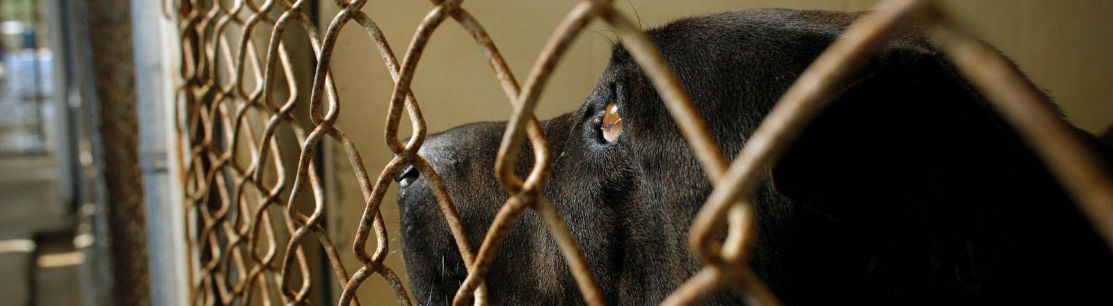 Ein schwarzer Bulldoggen-Mischling in einem Käfig.