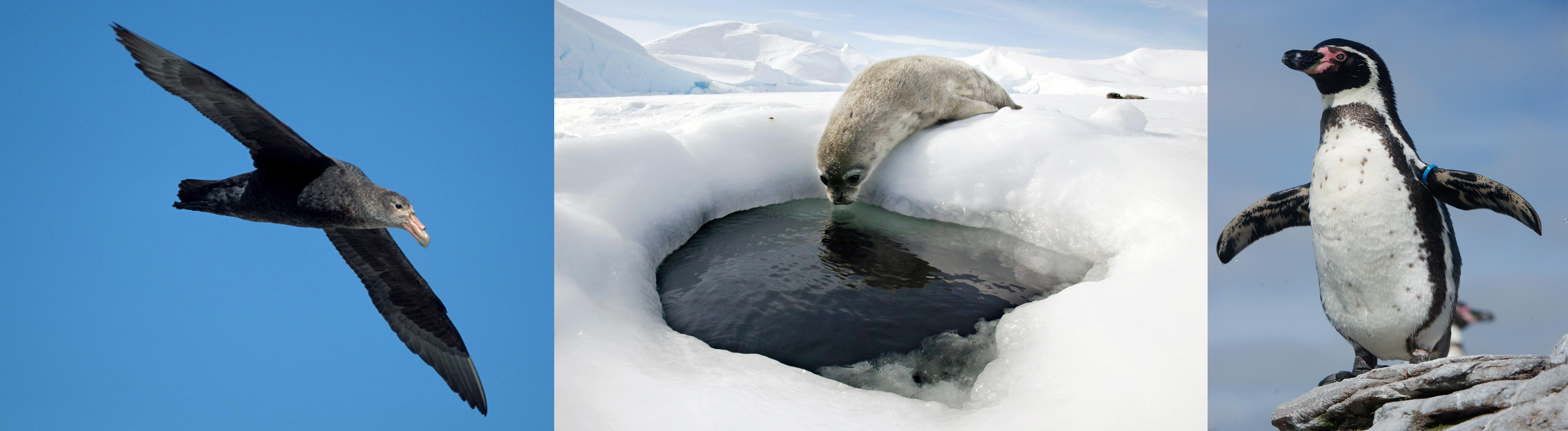 Albatros, Seeloeopard und Pinguin. Alles Bewohner der Antarktis.