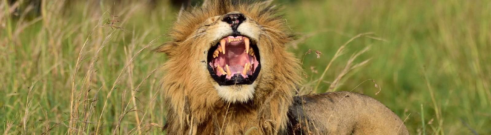 Ein Löwe brüllt.