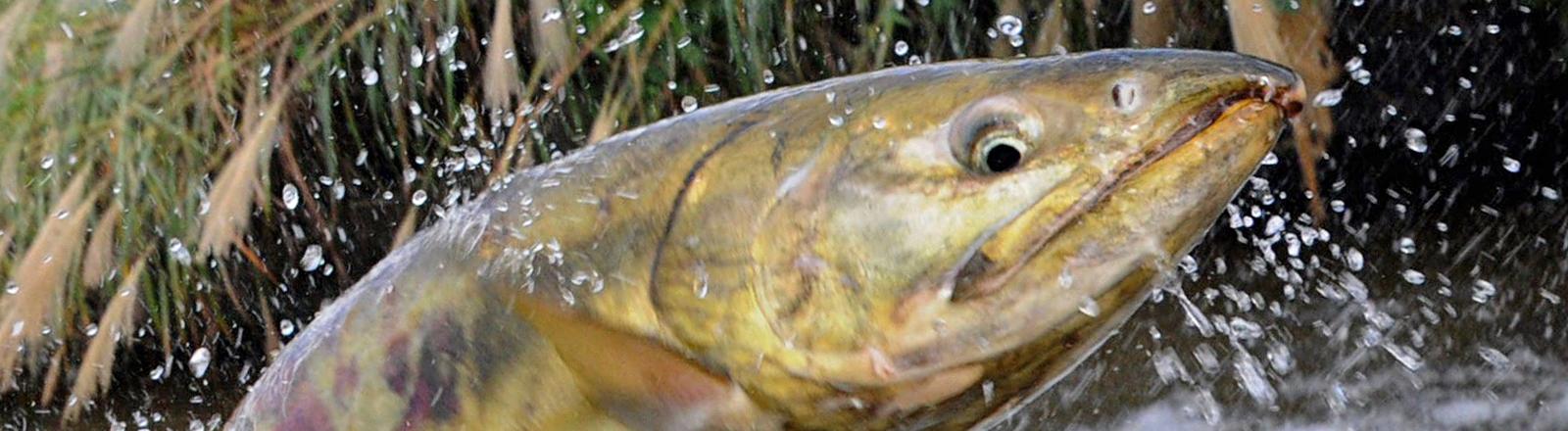 Ein Lachs springt in die Höhe; Bild: dpa