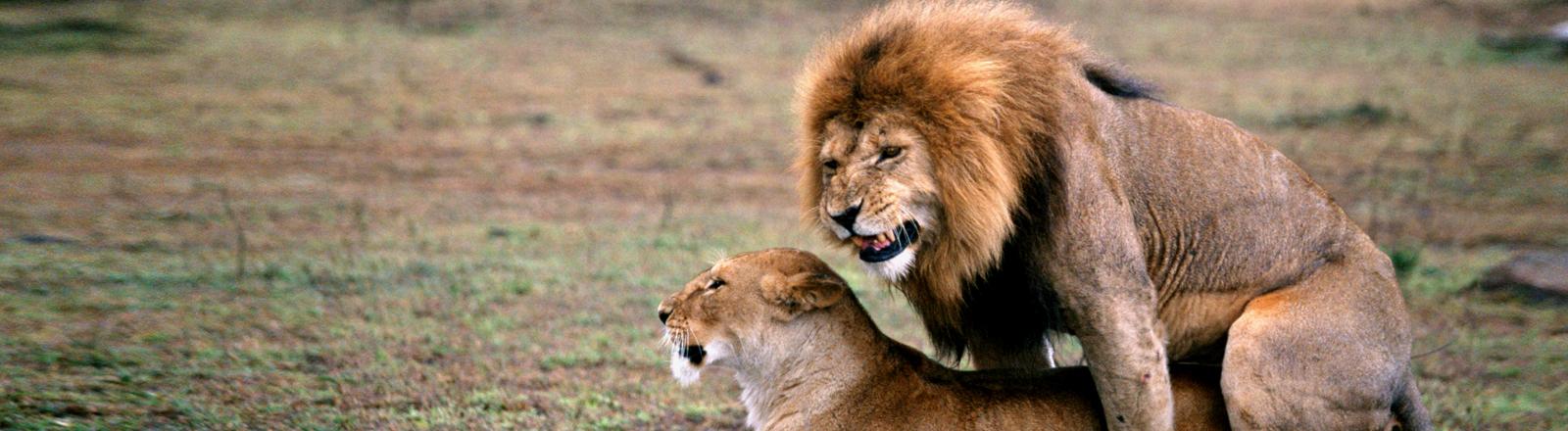 Löwenmännchen und Weibchen bei der Paarung