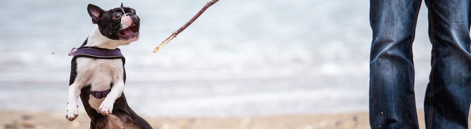 Ein Mann geht mit einem Hund am Strand spazieren.