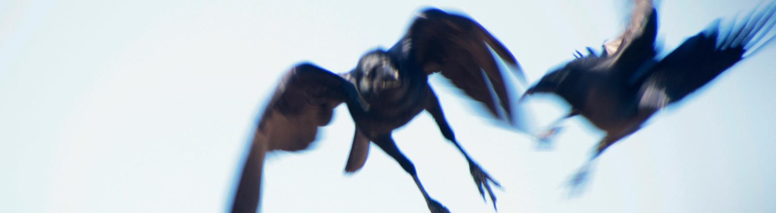 Zwei Krähen fliegen in der Luft.