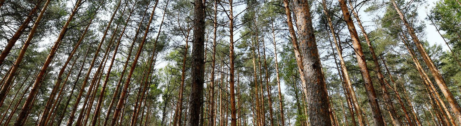 Brandenburg, Treuenbrietzen: Kiefern wachsen in Monokultur in einem Waldstück bei Treuenbrietzen.