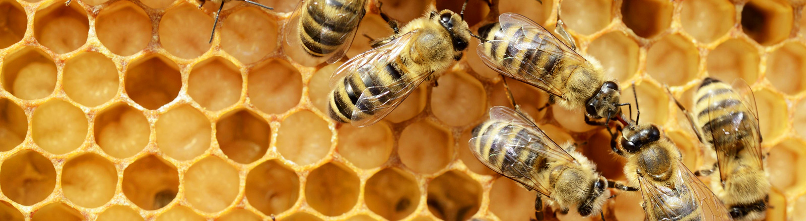 Bienen, Bienenwaben, Larven