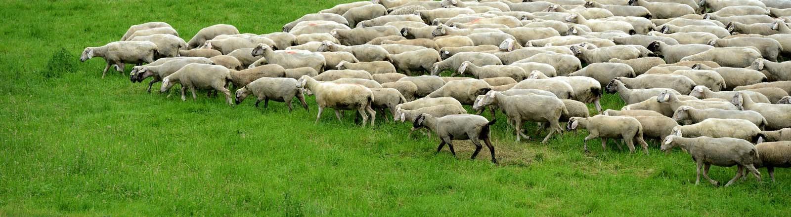 Eine Schafsherde