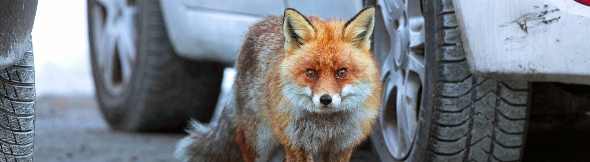 Ein Fuchs zwischen Autos in der Stadt.
