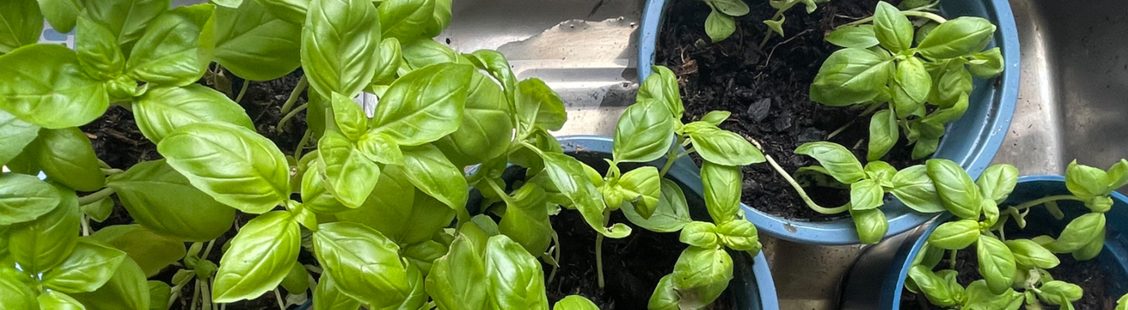 Töpfe mit selbst gepflanztem basilikum
