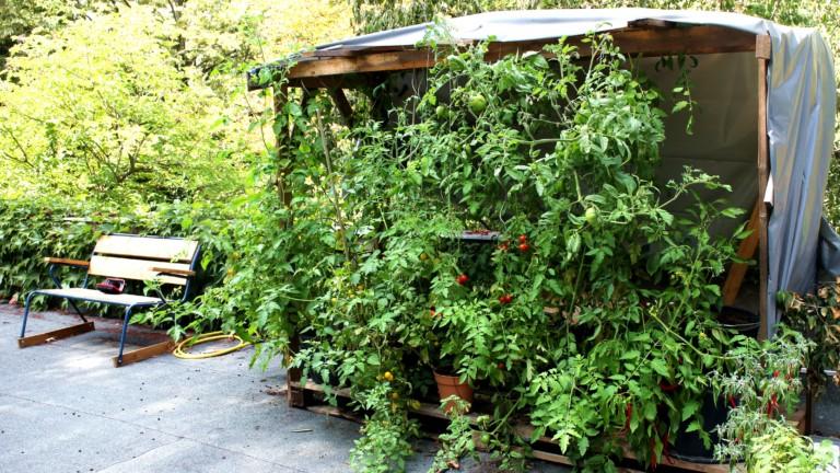 Moritz Dachtomatengarten ist regelrecht überwuchert von Tomatengestrüpp - und zwischendrin leuchtet es rot und gelb