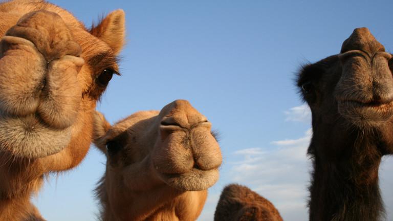 EU schickt Mauretantien Kamele