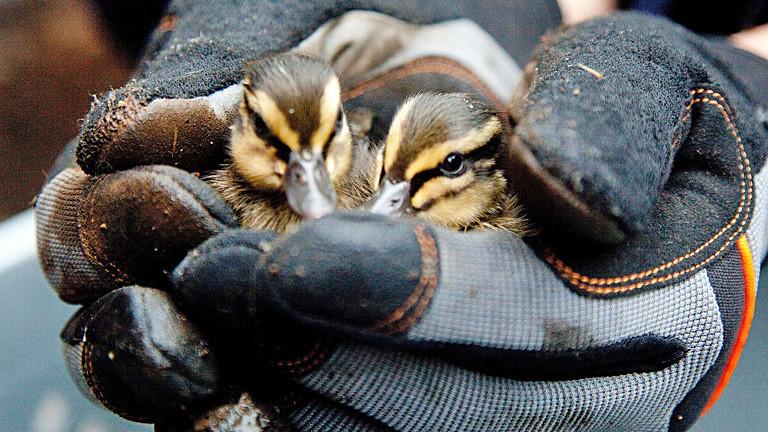 Zwei Hände in dicken Handschuhen halten zwei Entenküken fest.