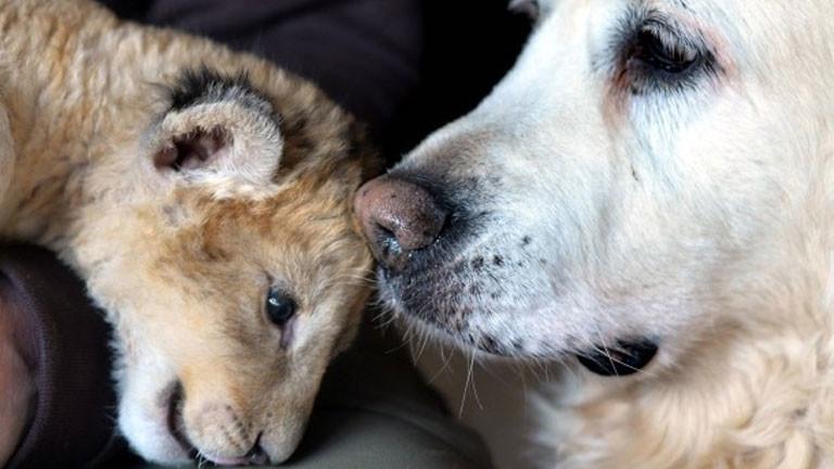 Löwenbaby Malor mit Hündin Kiki.